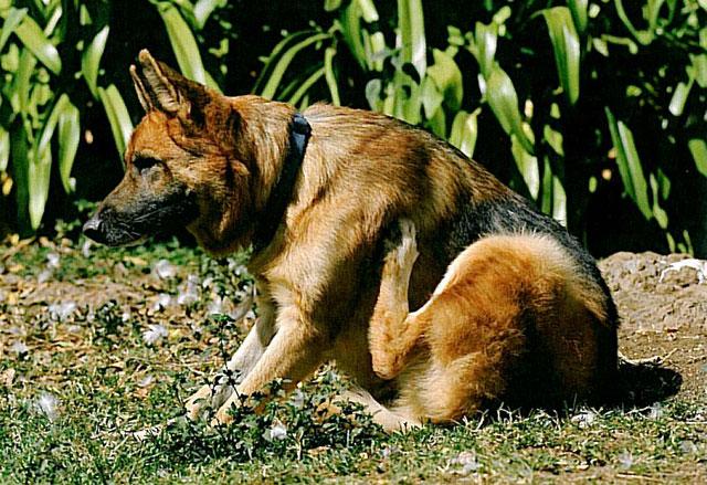 köpeklerde kuduz aşısı nezaman yapılır